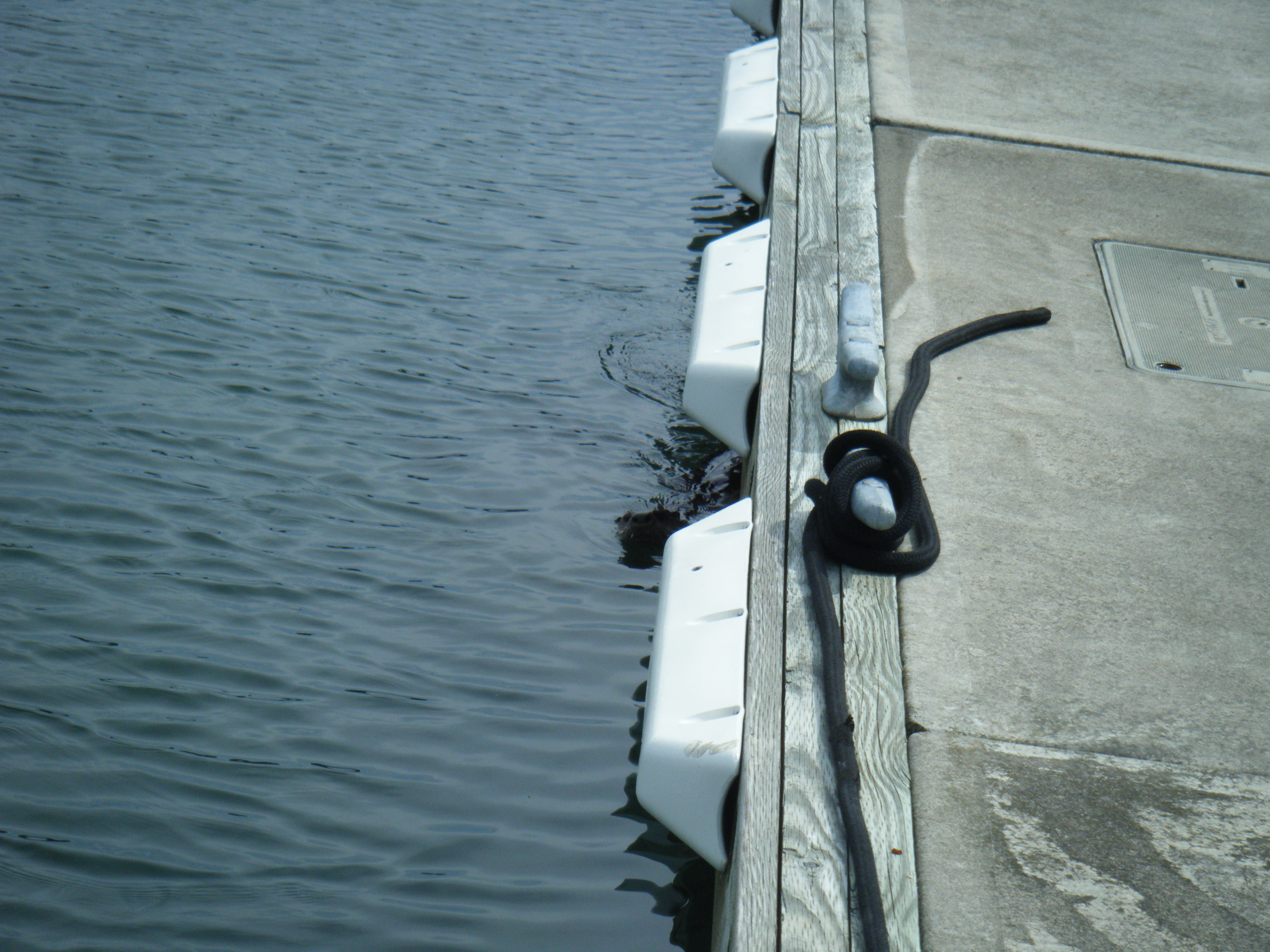 Sea Otter hangin out at the dock