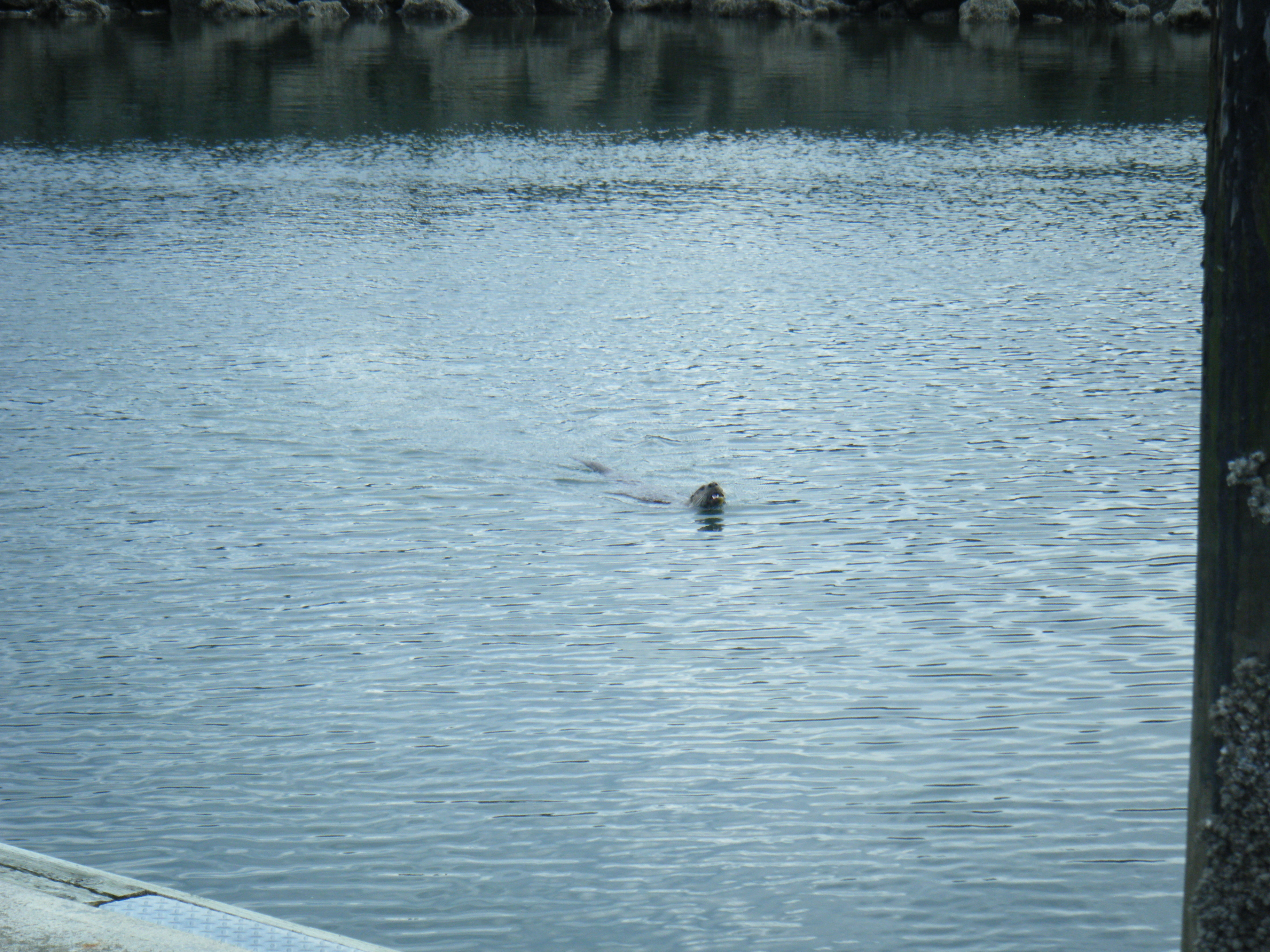 Sea Otter Out Hunting