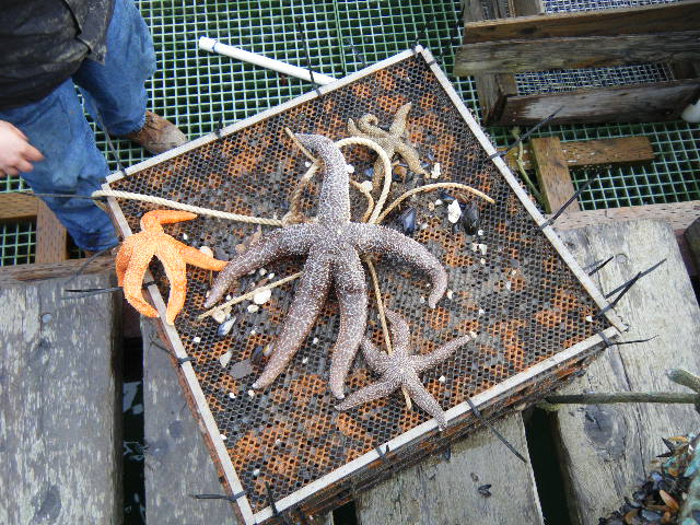 Sea Stars found on top of the trays